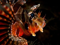 lion fish by Mark Reilly