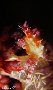Candy Crab by Adriana Simeonova