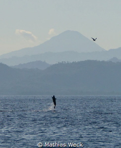 Dolphin jumping with bird near Bunaken Island by Mathias Weck