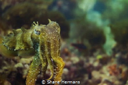 A very large Giant Cuttlefish (Sepia apama) strikes a pos... by Shane Hermans