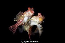 Mating dragonet by Ajiex Dharma