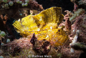 Leaf Fish at Bunaken Island by Mathias Weck