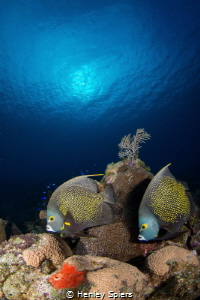 Faithful French Angelfish by Henley Spiers