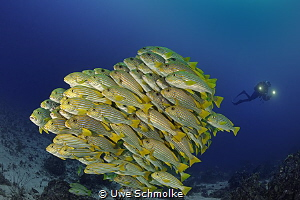 Sweetlips and diver by Uwe Schmolke