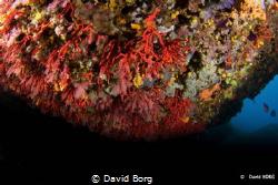 David Borg -Corallium rubrum by David Borg