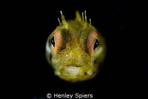 Golden Rough-head Blenny by Henley Spiers
