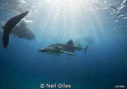 Whale sharks of the Philippines by Neil Giles