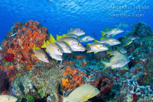 Snaper in the Reef, Cozumel Mexico by Alejandro Topete