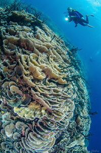 Kimbe Bay, PNG. Walls and Coral Fields... a Diver's Parad... by Tony Cherbas