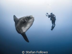 Southern Ocean Sunfish - Mola ramsayi  Gilli Mimpang, B... by Stefan Follows