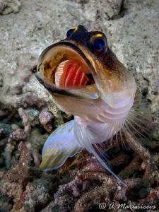 Jawfish,Anilao by Aleksandr Marinicev