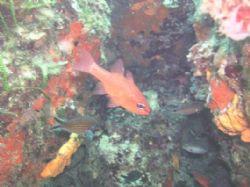 Kardinalfish by Hakan Taslicay