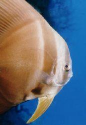 Schooling Batfisch (Fledermausfisch) - Egypt - Hurghada by Ralf Levc