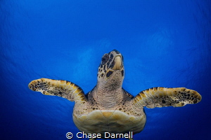 """""""Incoming"""" A large Hawksbill Turtle swims through the blue. by Chase Darnell"""