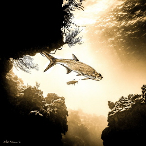 Tarpon in the Sun - we were diving Macabuca or Turtle Ree... by Robin Bateman