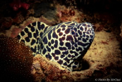 Honey comb moray eul from sulug island