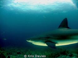 Caribbean reef Shark, taken at Jardines del la reina - Cuba. by Kris Davies