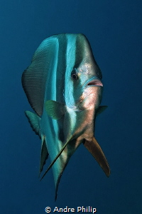 A look of pure curiosity - Batfish (Patax teira) by Andre Philip