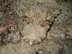 photo by night of a crocodile-fish (thysanophrys arenicol... by Christophe Maes