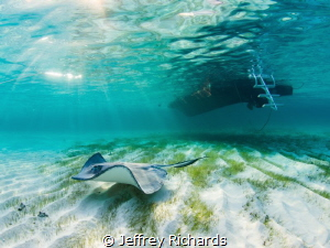 A stingray is bathed in sun beams under the boat at the S... by Jeffrey Richards