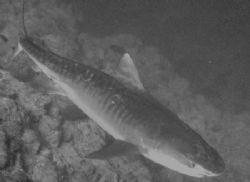 5 meter Tiger Shark taken in Sharks Observatory, Ras Moha... by Nikki Van Veelen