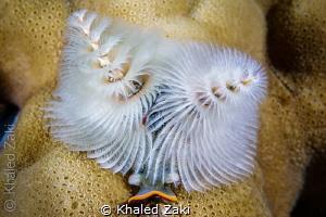 Xmass Tree worm by Khaled Zaki