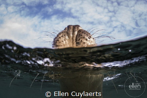 Hold your head up high Grey seal by Ellen Cuylaerts