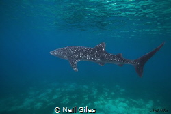 Solo Whaleshark- sighted in Oslob, Cebu, Philippines by Neil Giles