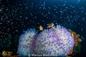 A pair of anemone fish with anemone surrounded by glass fish by Marcus Blatchford