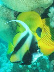 Bannerfish & Masked butterflyfish photo was taken at Ras ... by Anel Van Veelen