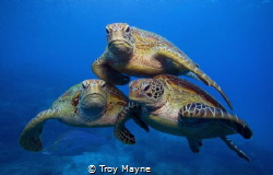 Turtle Pyramid. 3 Green Turtles on the Great Barrier Reef. by Troy Mayne