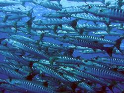 Huge shoal of barracudas by Gordana Zdjelar