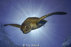 Burst.  Green Turtle Descending from the surface after a ... by Troy Mayne