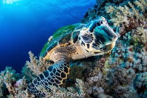 Friendly hawksbill turtle by John Parker