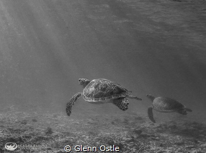 Two turtles taken on Grand Cayman by Glenn Ostle