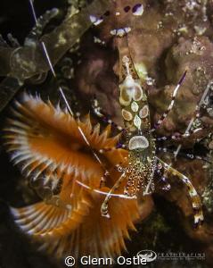 Small shrimp in anemone. by Glenn Ostle