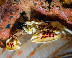 My Anemone  Love this shot - the porcelain crab is on the... by Robin Bateman