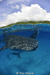Whale sharks in the Philippines at Donsol. by Troy Mayne