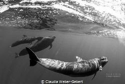 speeding...........  pilot whales of Teneriffa Island - ... by Claudia Weber-Gebert