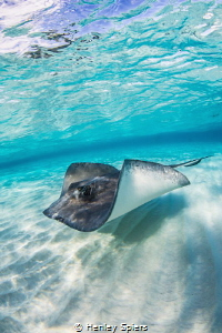 This ray is worth $1.75 million. by Henley Spiers