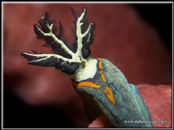 Nudibranch tail, I love the colors of this picture. I was... by Yves Antoniazzo