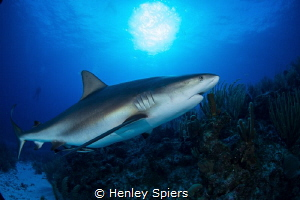 Pregnant Caribbean Reef Shark by Henley Spiers