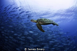 Green turtle swimming with a school of jacks by James Emery