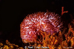 The colorful and rare walking sea anemone by Peet J Van Eeden
