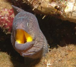 Yellow mouth moray 105mm macro by Chris Kennedy