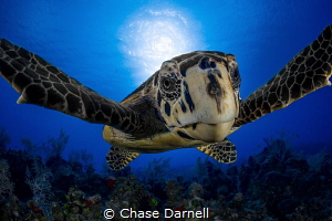 """""""Turtle Hug"""" Sometimes the marine life wants to come see... by Chase Darnell"""