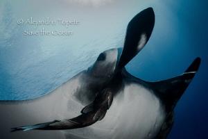 Manta in Light, Socorro Island México by Alejandro Topete