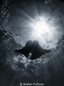 Dreaming is Free  Manta Ray - Manta alfredi  Manta Po... by Stefan Follows