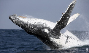 Breaching whale taken during the annual Sardine Run ;) by Allen Walker
