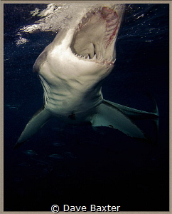 great white shark going in for bite by Dave Baxter